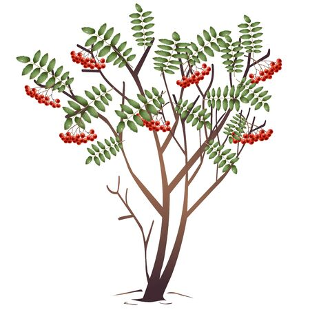 Color image of cartoon rowan or ashberry on white background. Plants and trees. Vector illustration.