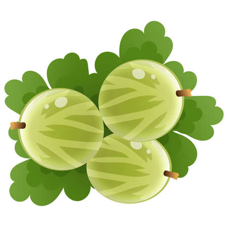 Color image of green gooseberry on white background. Berry and fruits. Vector illustration.