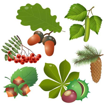 Color images of forest fruits and leaves of trees. Oak, birch, chestnut, Rowan, spruce, pine, fir, hazelnut. Plants. Vector illustration set for kids.