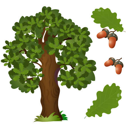 Color image of fruit, leaf and branch with acorns of oak on white background. Plants and trees. Vector illustration set for kids.  イラスト・ベクター素材
