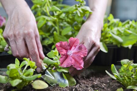 female hands  with a landing scoop and petunia seedling