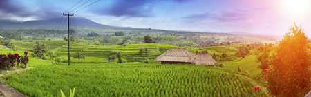 Rice terraces and palm trees. Bali, Indonesia