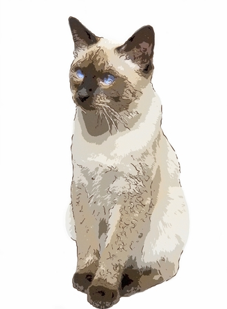 cat sleek haired (Mekong bobtail, tailless)