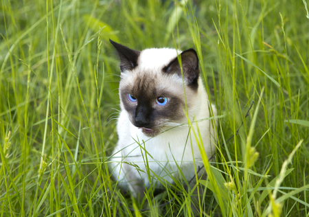 the short-haired young cat, seal-point color with blue eyes on a green grass