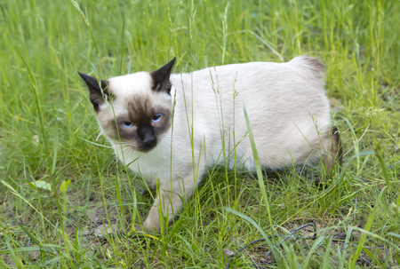 the short haired young cat, seal point color with blue eyes on a green grass Stock Photo