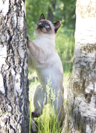 short haired young cat, seal point color with blue eyes on a birch