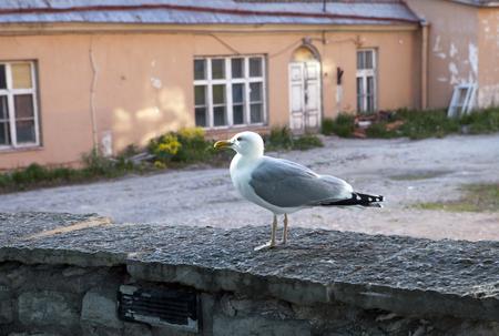 gull on the background of old houses. Tallinn. Estonia.