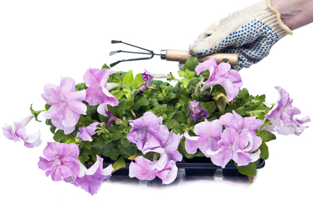 female hands in protective gloves with the ripper and petunia seedling on a white background
