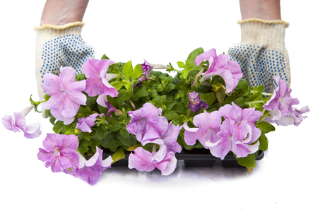 female hands in protective gloves keep petunia seedling