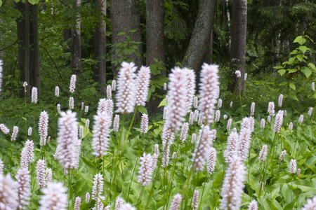 beautiful white pink summer flowers- Pontederia cordata and trunks of trees in the wood on a background