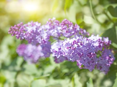 blossoming lilac Stock fotó