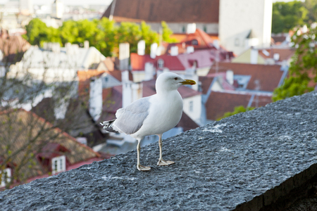 Seagull on observation deck and the Town hall tower on a background. Tallinn. Estonia.