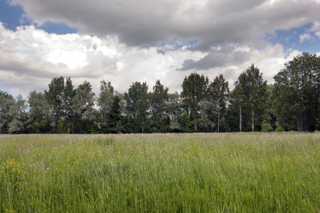 the field before the wood from birches and a silvery willow under the cloudy sky in the summer day