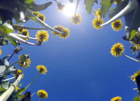 yellow dandelions against the blue sky, bottom view