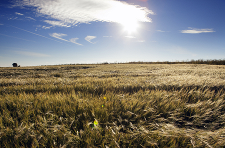 The field with wheat ears under the blue sky with clouds