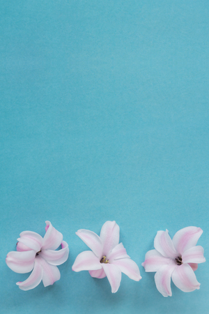 Hyacinth Pink Surprise Dutch Hyacinth. Spring bulbs. Spring flowers. The perfume of blooming hyacinths is a symbol of early spring. Texture. Pink flowers on a light blue background Stock fotó
