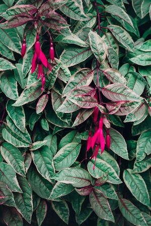 Fuchsia leaves and flowers texture, dark moody style