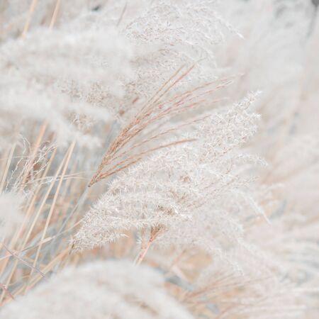 Textura macro de semillas secas de caña sobre un fondo de color rosa Foto de archivo