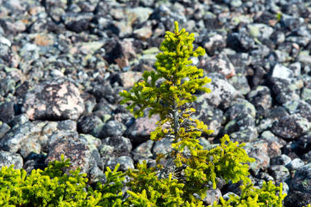 firtree: fir-tree in a taiga against stones