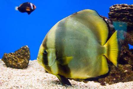 platax: Longfin batfish (Platax teira) in tropical waters