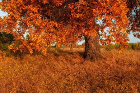 Tree oak in autumn afternoon