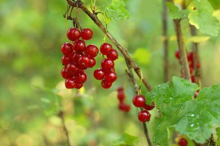 Branch of red currant on a green background Stock Photo - 8595241
