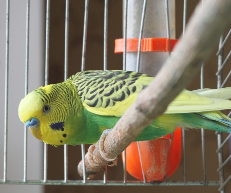 A green budgie sits in a cage
