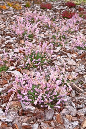 Flowering pink heather calluna vulgaris ericaceae on a background the bark of trees Stock Photo - 12273733