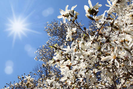 Flowering white magnolia on a background sun sky Stock Photo - 12686350