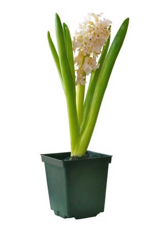 Tender hyacinth in garden pots on white background Stock Photo - 13200697