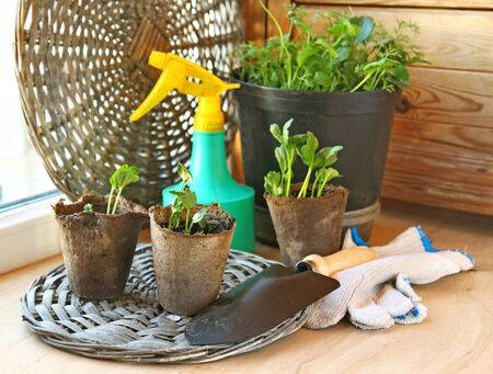 Growing of plants in peat pots on a balcony Stock Photo - 13557979