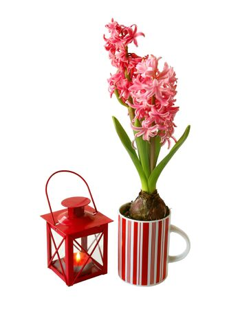 pink  hyacinth in a beautiful pot and flashlight on a white background Stock Photo - 13557956