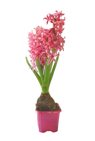 Beautiful pink hyacinths  on a white background Stock Photo - 13557954