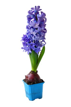 Beautiful brightly-blue hyacinths on a white background Stock Photo - 13848726