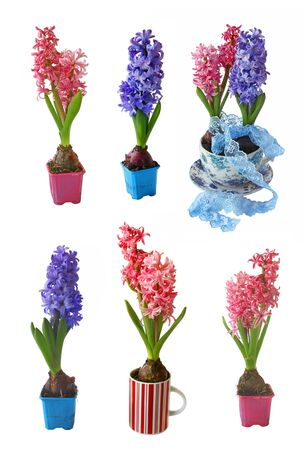Set beautiful pink and biue hyacinths on a white background Stock Photo - 13865249