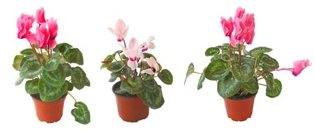 Room plant a pink cyclamens on a white background is isolated photo
