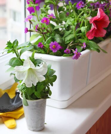 Decoration of balcony petunia in white and plastic flower pot Stock Photo - 13957859