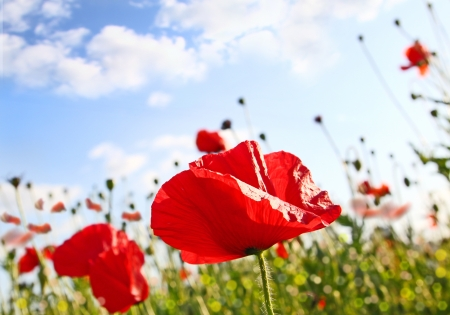 Field with poppy under dark blue by sky with clouds in spring by a sun day photo