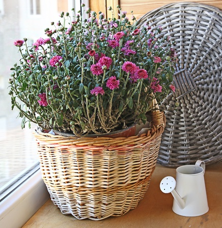 Bush of pink chrysanthemum in a basket and white wateringcan on a balcony photo