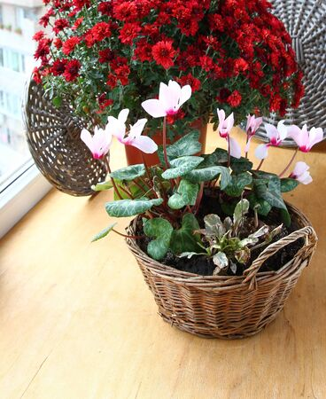 Bush of beautiful red chrysanthemum and tender pink cyclamens photo