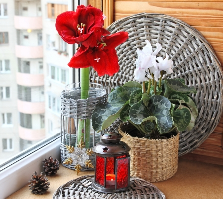 Composition from a white cyclamen and red hippeastrum with a christmas lantern. Eve of Advent photo