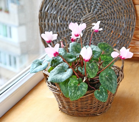 Pink cyclamen flowers in basket on a window in balcony photo