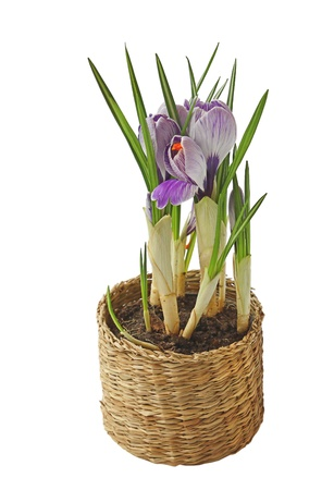 Beautiful spring crocus flowers in basket over white background   Stock Photo - 17748956