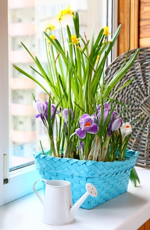 Narcissus and crocus growings in a basket with white watering-can on a balcony.  Imagens