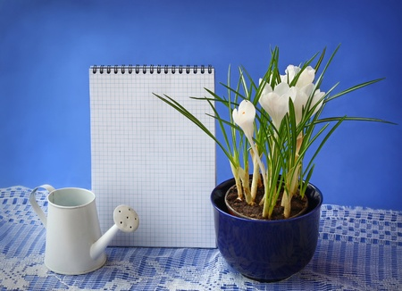 wateringcan: White crocuses and watering-can on a background the clean sheet of paper for text