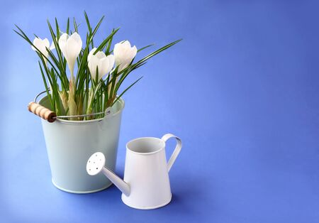 wateringcan: Tender white crocuses in a bucket and watering-can on a deep dark blue background  Stock Photo