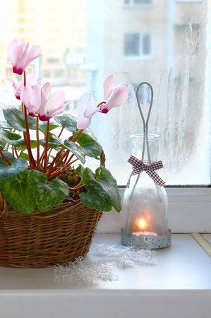 natural ice pastime: Pink cyclamen next to vintage candlestick on a window in winter.