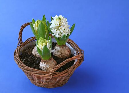Spring flowers hyacinths in basket on dark blue background photo