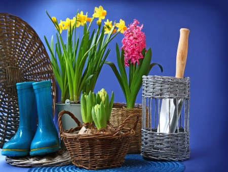 Spring flowers hyacinths and narcisuss in basket on dark blue background