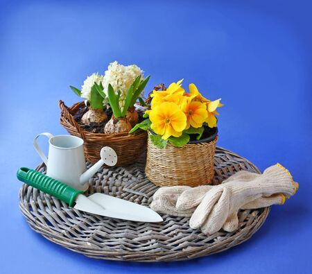 Garden gloves, shovel and watering can next to the yellow primula and hyacinth on a on a blue background photo